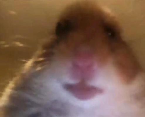 Pourquoi TikTok est-il rempli de photos de profils de hamsters?